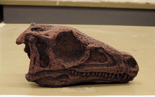 File:Eoraptor skull.jpg