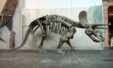 Triceratops Skeleton Senckenberg 2