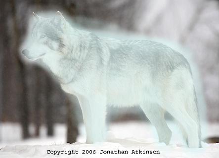 File:Wolf Patronus.jpg