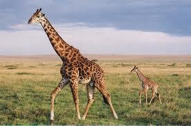 File:A Giraffe.jpg
