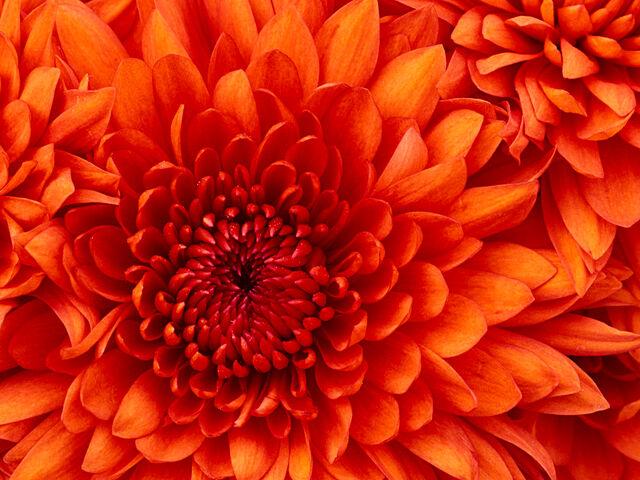File:Chrysanthemumb.jpg