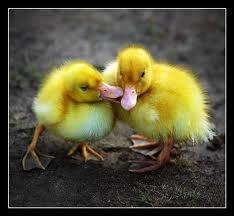 File:Ducks.jpg