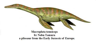 Macroplata tenuiceps