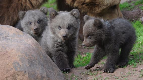 Datei:Bären ohne Zucker.jpg