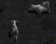 File:Cows.jpg