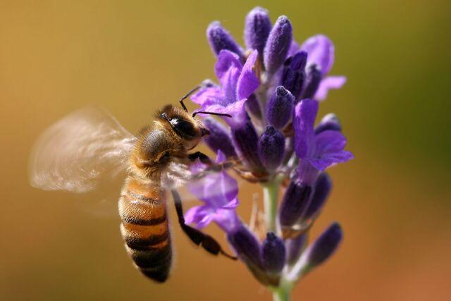 File:Flying bee.jpg