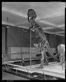 AMNH t-rex mount 1960s