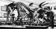 Triceratops 1910