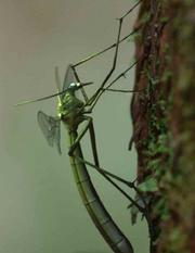 Juracimbrophlebia ginkgofolia