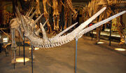 Kentrosaurus tail