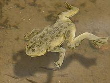 Palaeobatrachus NT
