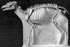 Protoceras skeleton.jpg