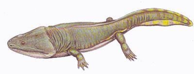 Metoposaurus diagnosticus kraselovi 1DB