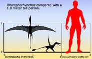 Rhamphorhynchus-size