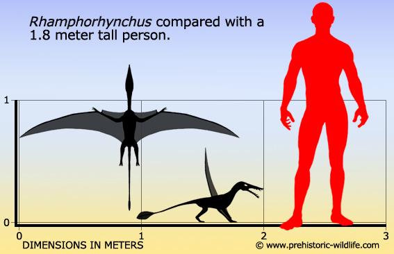 File:Rhamphorhynchus-size.jpg