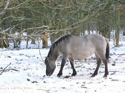 Equus-caballus-gmelini-30394