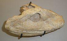220px-Acanthostega gunnari - head