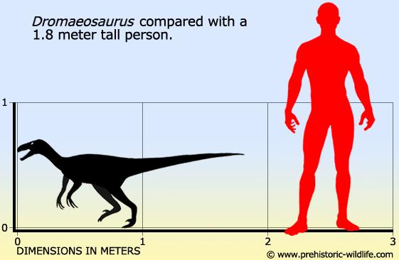 File:Dromaeosaurus-size.jpg