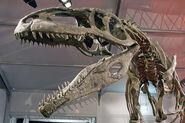 Giganotosaurus carolinii DSC 2949