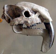 ThylacosmilusSkull.jpg