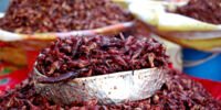 Grasshopper Enchiladas