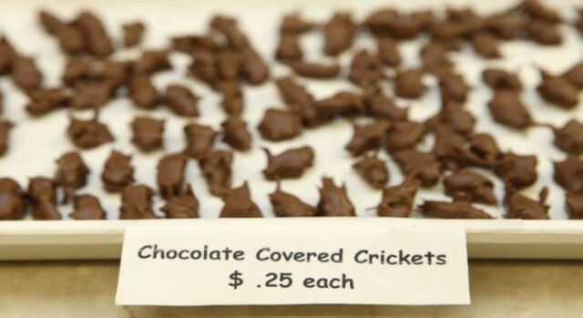 File:Chocolate covered cricket.jpg