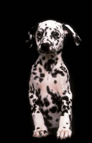 File:Dalmatian-Puppies-1996-4.jpg