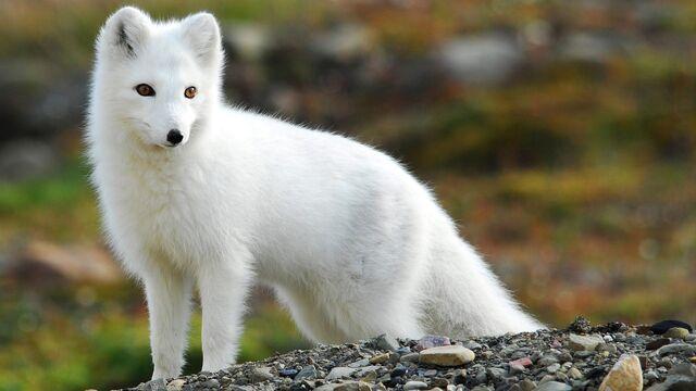 File:Fox-white-fox-art-animals-884798.jpeg