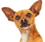 Beverly-Hills-Chihuahua