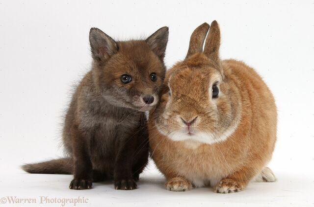 File:35592-Red-Fox-cub-and-rabbit-white-background.jpeg