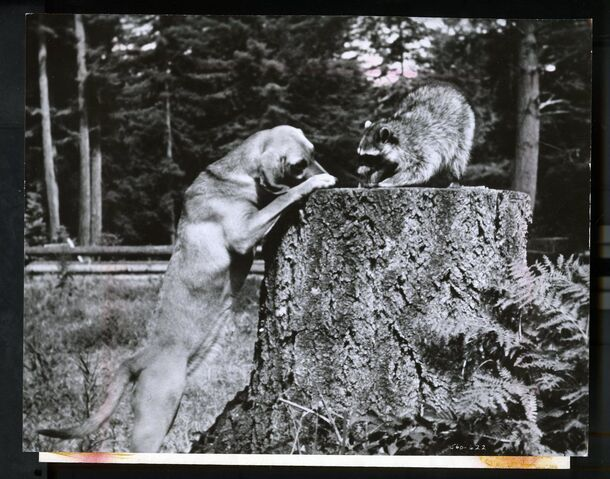File:The Hound That Thought He Was a Raccoon Poster 1.JPG