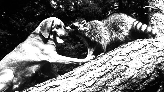 File:The Hound That Thought He Was a Raccoon Poster 2.jpg