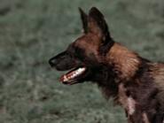 14. Cape Hunting Dog