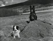 Arizona sheepdog 2dogrock 600x457 opt