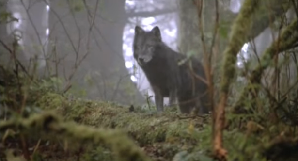 File:Timber Wolf 1.png