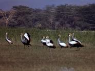 33. Black Crowned Crane