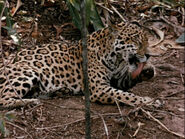 1960-jaguar-2