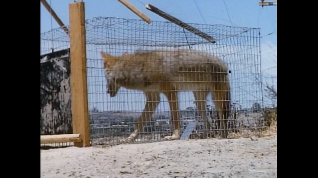 File:A coyote in a cage.png