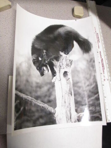 File:Minado the wolverine.jpg