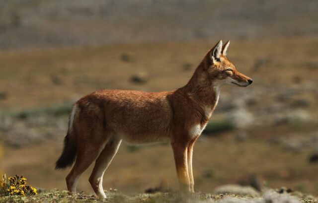 File:Ethiopian Wolf.jpg