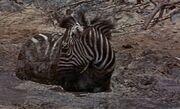 Duchess the zebra