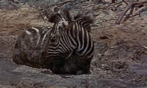 File:Duchess the zebra.jpg