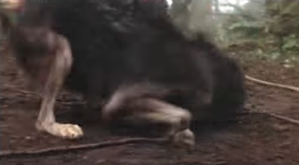 File:Timber Wolf 7.png