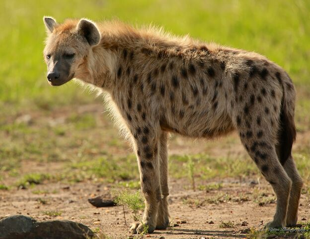 File:Spotted-hyena-standing214.jpg