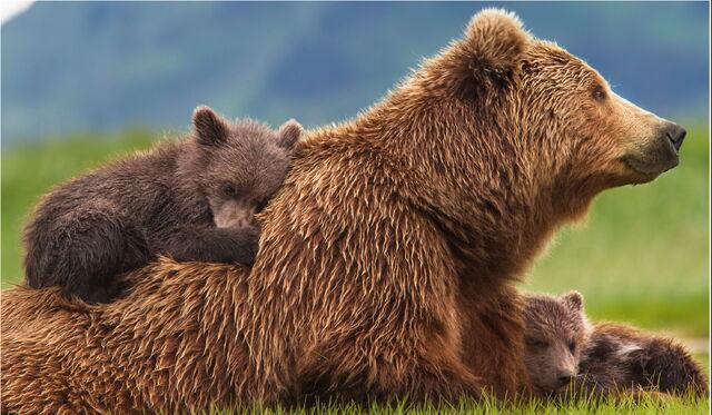 File:Bears1.jpg