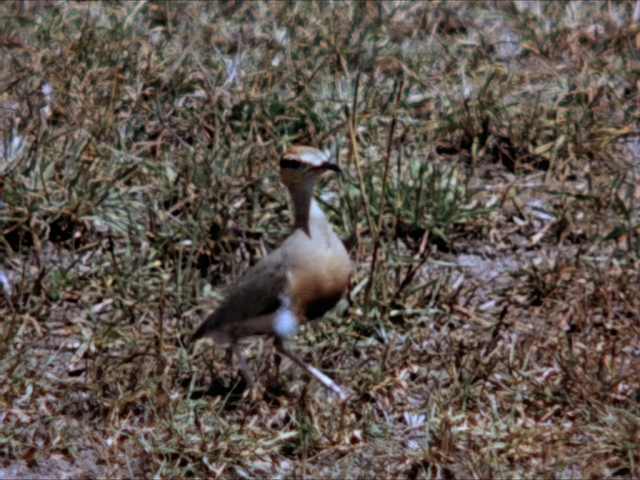 File:36. Temminck's Courser.PNG