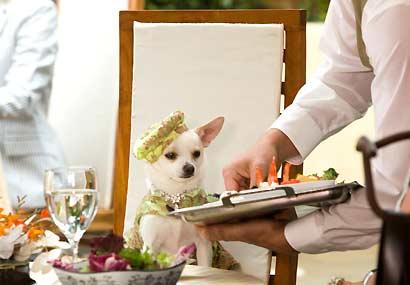 File:Chihuahua-2.jpg