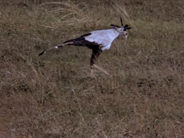 File:35. Secretary Bird.PNG