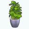 BrooklynDecor - Fiddle Leaf Fig