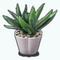 PalmSpringsModernismDecor - Agave Plant